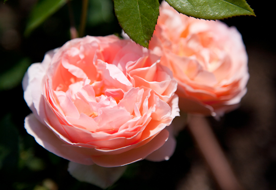 Peach Roses