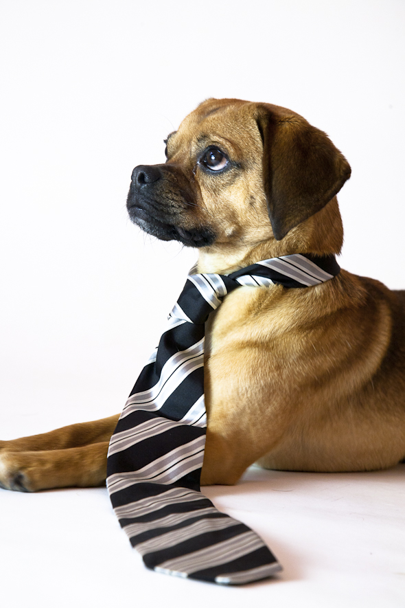 Is That a Puggle? Professional Puggle Edition | picklesnhoney.com #isthatapuggle
