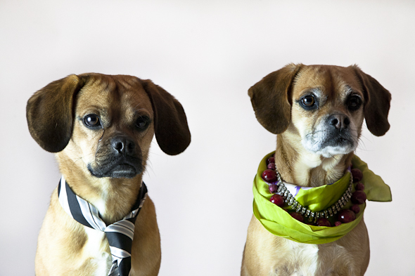 Is That a Puggle? Professional Puggle Edition| picklesnhoney.com #isthatapuggle