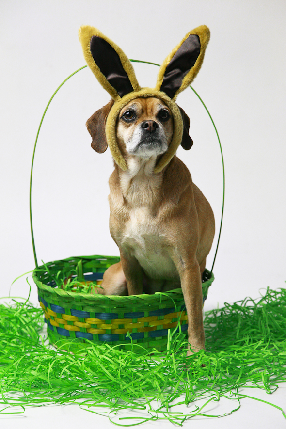 Is That a Puggle? Easter Edition | picklesnhoney.com #isthatapuggle